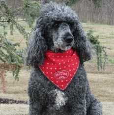 Chance the Standard Poodle
