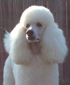 Murray the Standard Poodle